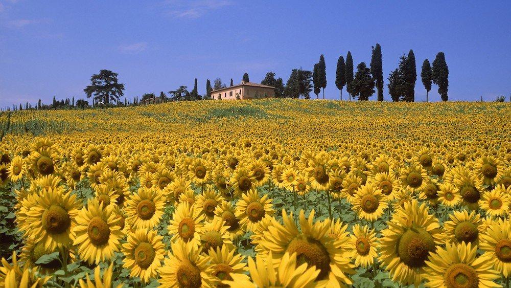 buy farmhouse sunflowers tuscany field
