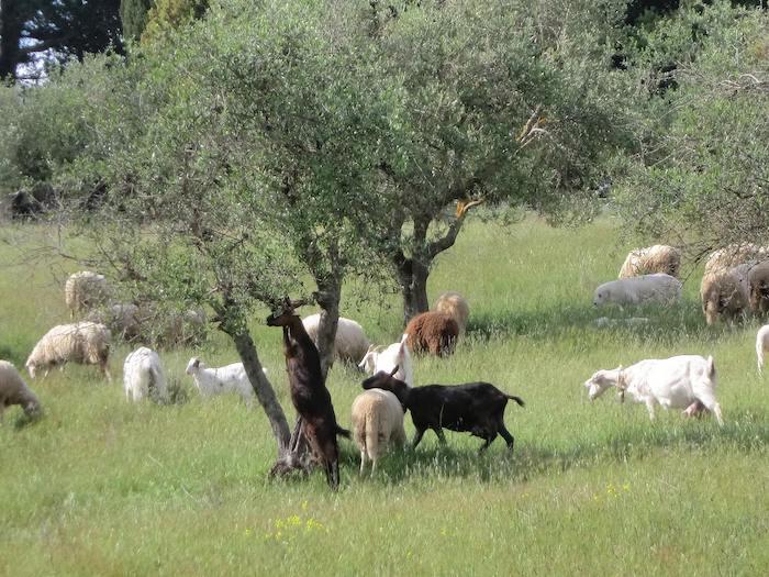 sheep olive trees tuscany